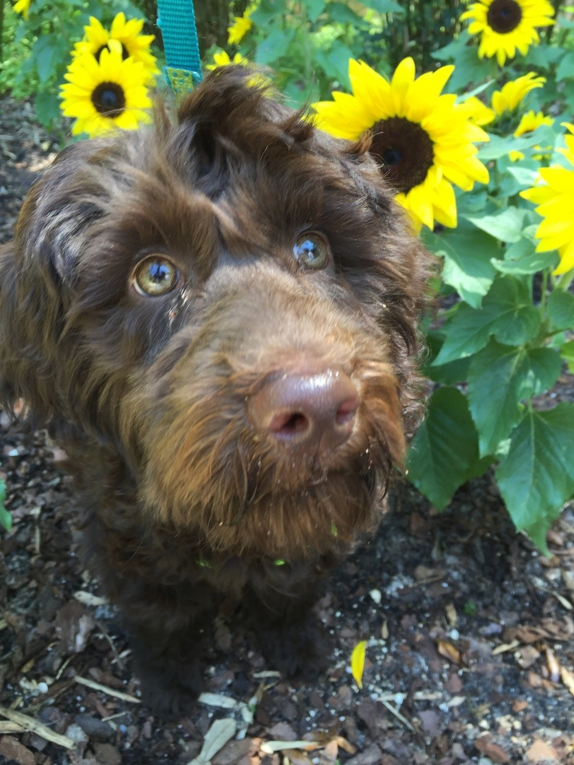 What Makes Australian Labradoodles Special in Richmond, Kentucky (KY) For Families & Young Children with Allergies