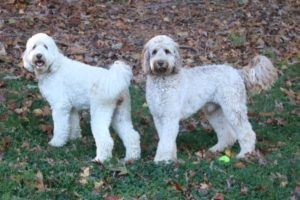 Australian vs  Traditional Labradoodle Breeds in Richmond, KY